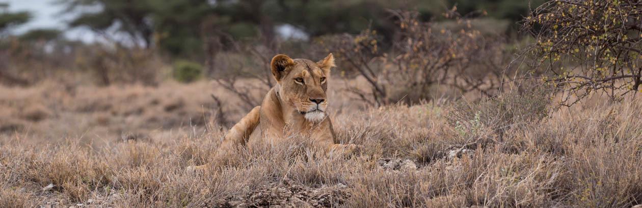 Lion of Faith