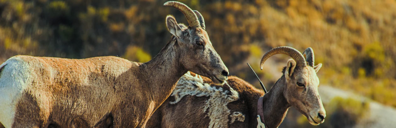 Yom Kippur and the Tale of Two Goats
