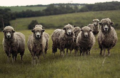 How to Grow Good Wool