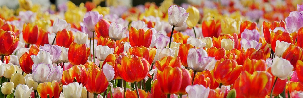 Talking Turkey About Tulips
